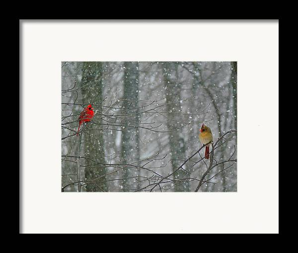 Male And Female Cardinals In Falling Snow Framed Print featuring the photograph Cardinals In Snow by Serina Wells