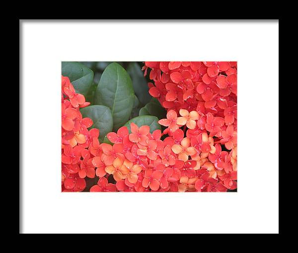 Flower Framed Print featuring the photograph Caribbean Beauty by Ginger Howland