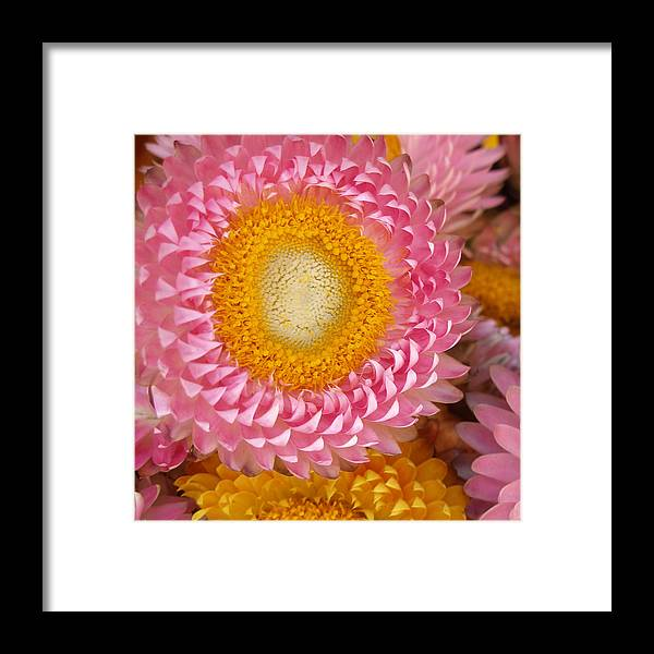 Flower Framed Print featuring the photograph Carmel Flower by Sarah Madsen