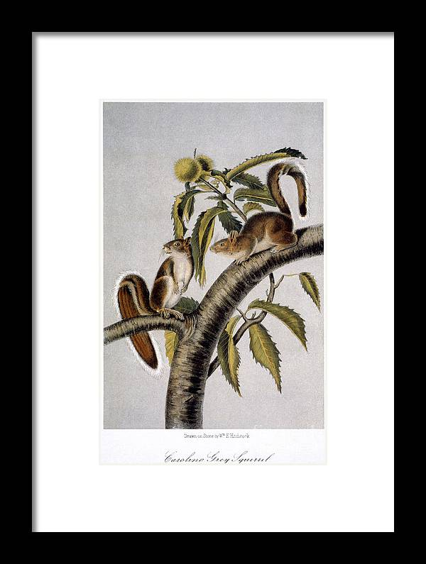 1846 Framed Print featuring the photograph Carolina Grey Squirrel by Granger