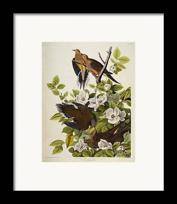 Carolina Turtledove. Mourning Dove Framed Print featuring the drawing Carolina Turtledove by John James Audubon