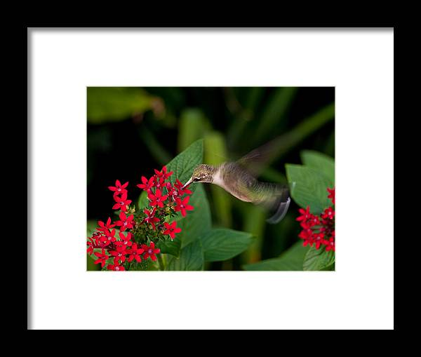Hummingbird Framed Print featuring the photograph Carry Out by Don Allen