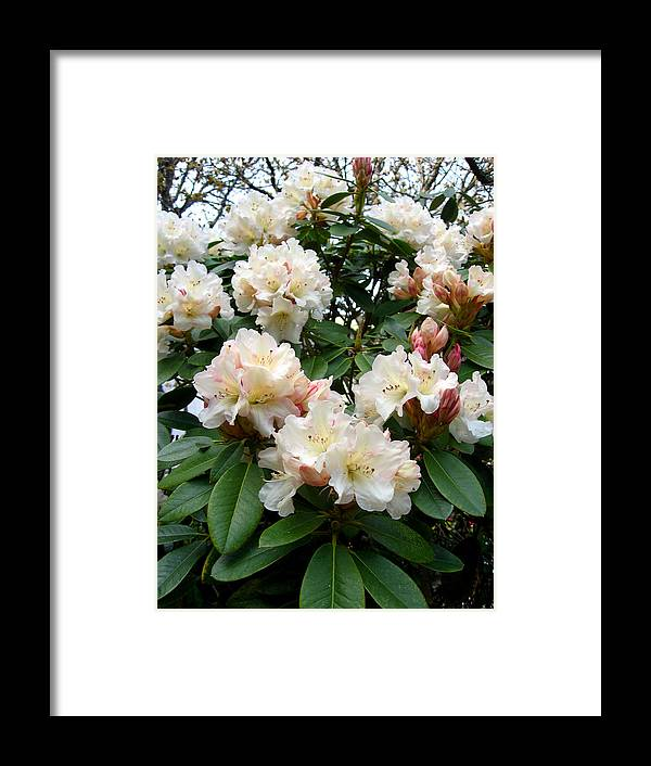Rhododendrons Framed Print featuring the photograph Cascade by Aliza Souleyeva-Alexander