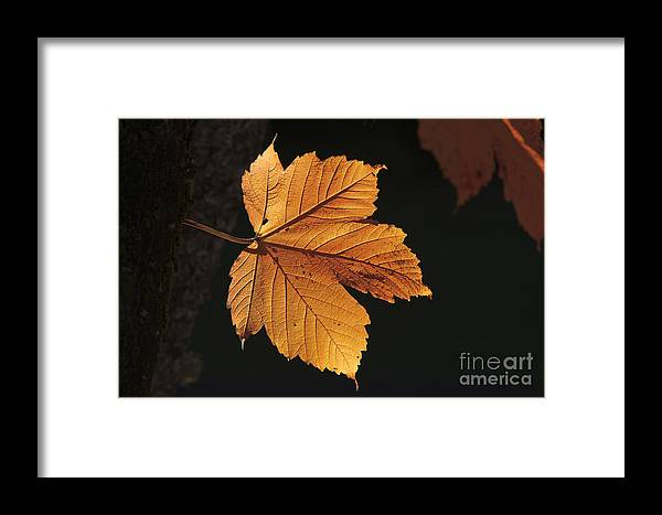 Maple Leaf Framed Print featuring the photograph Cascade Orange by Michael Greiner