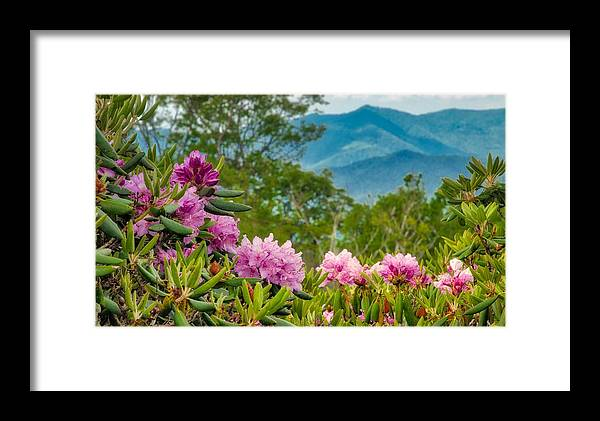 Blue Ridge Parkway Framed Print featuring the photograph Catawba Rhododendron At The Craggy by Dana Foreman