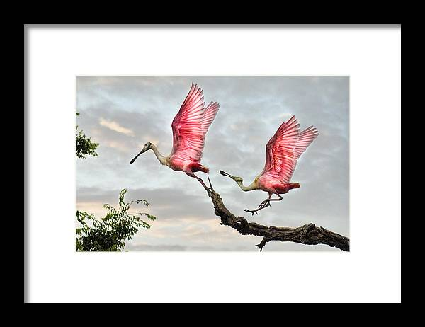 Spoonbills Framed Print featuring the photograph Catch Me If You Can by Brian Tarr