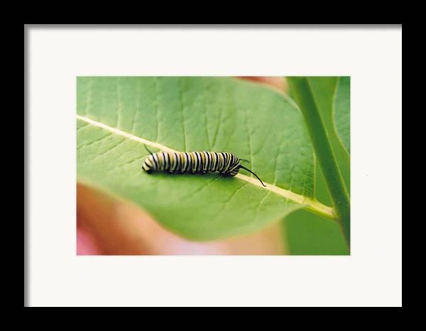 Caterpillar Framed Print featuring the photograph Caterpillar by Kathy Schumann