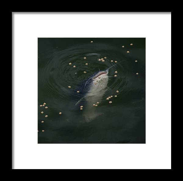 Catfish Framed Print featuring the photograph Catmandu by Debbie May