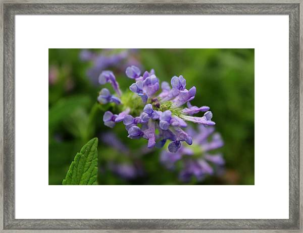 Catmint Blue Moon Framed Print By Michiale Schneider