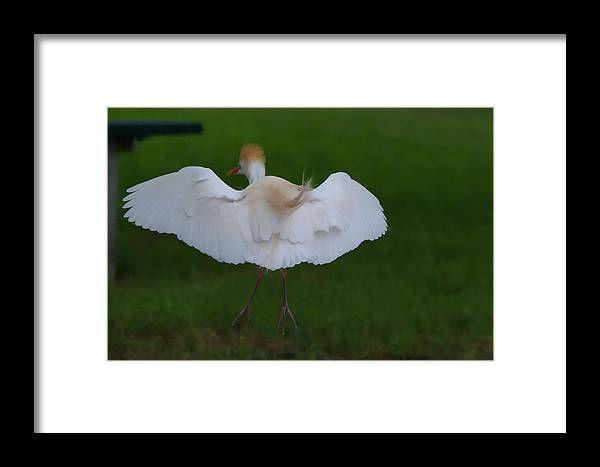Roy Williams Framed Print featuring the photograph Cattle Egret Prepared For Landing - Digitalart by Roy Williams