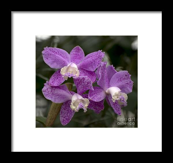 Purple Orchid Framed Print featuring the photograph Cattleya Loddigesii Var. Puntata 'marisa 3' 0831 by Terri Winkler