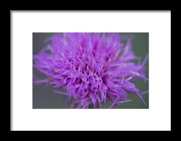 Cedar Park Framed Print featuring the photograph Cedar Park Texas Purple Thistle by JG Thompson