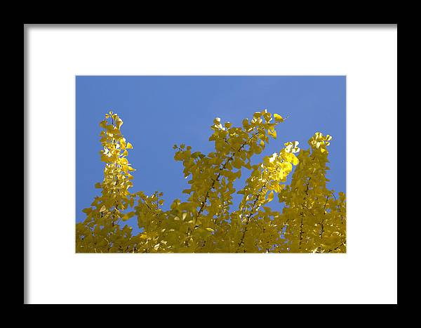 Tulips Tree Framed Print featuring the photograph Celebration In Blue And Yellow by Ross Powell