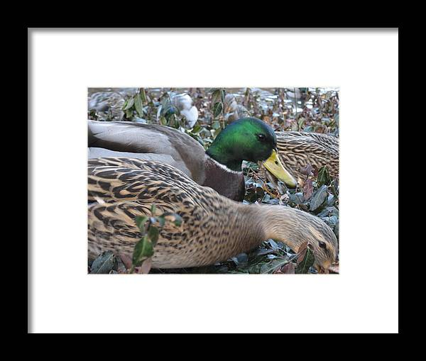 Ducks Framed Print featuring the photograph Central Park Ducks by Jennifer Sweet