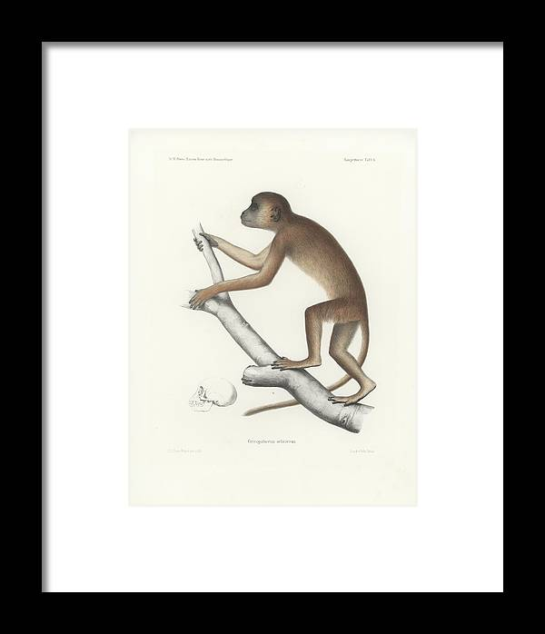 Central Yellow Baboon Framed Print featuring the drawing Central Yellow Baboon, Papio C. Cynocephalus by J D L Franz Wagner