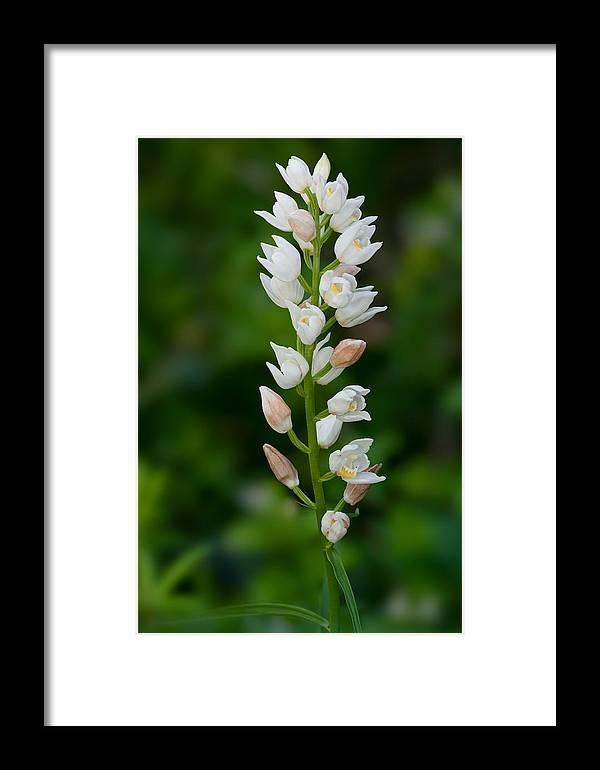 Long-leaf Helleborine Framed Print featuring the photograph Cephalanthera Longifolia by Yuri Peress