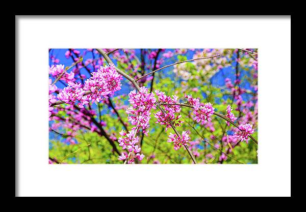 Background Framed Print featuring the photograph Cercis Siliquastrum Judas Tree by Ivan Santiago