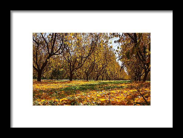 Fall Framed Print featuring the photograph Ceres Orchard - Fall by Stephen Bonrepos