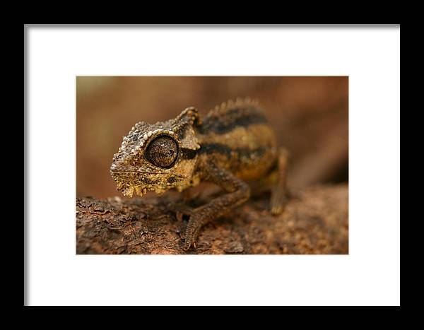 Chameleon Framed Print featuring the photograph Chameleon by Riana Van Staden