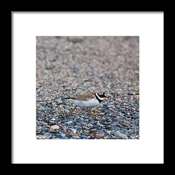 Charadrius Hiaticula Framed Print featuring the photograph Charadrius Hiaticula by Gabriela Insuratelu