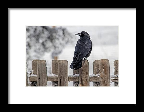 Crow Framed Print featuring the photograph Charming Corvid by Alana Thrower