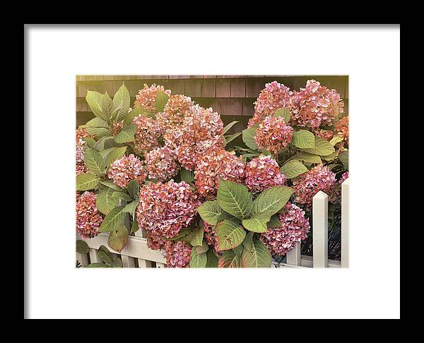 Garden Framed Print featuring the photograph Chatham Mopheads by JAMART Photography