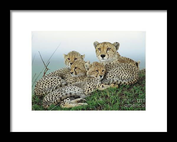 00345011 Framed Print featuring the photograph Cheetah And Her Cubs by Yva Momatiuk John Eastcott