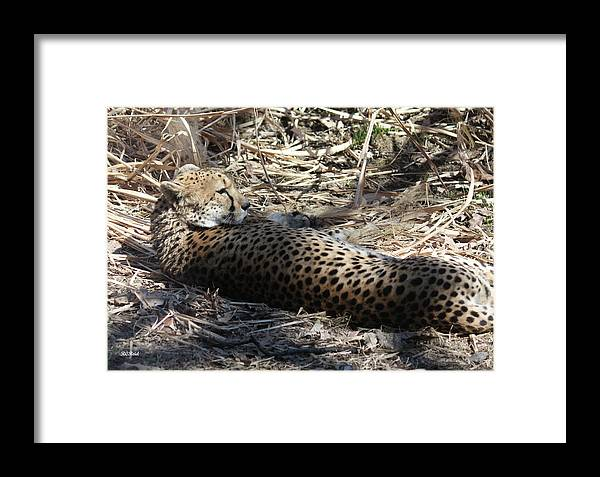 Maryland Framed Print featuring the photograph Cheetah Awakened by Ronald Reid