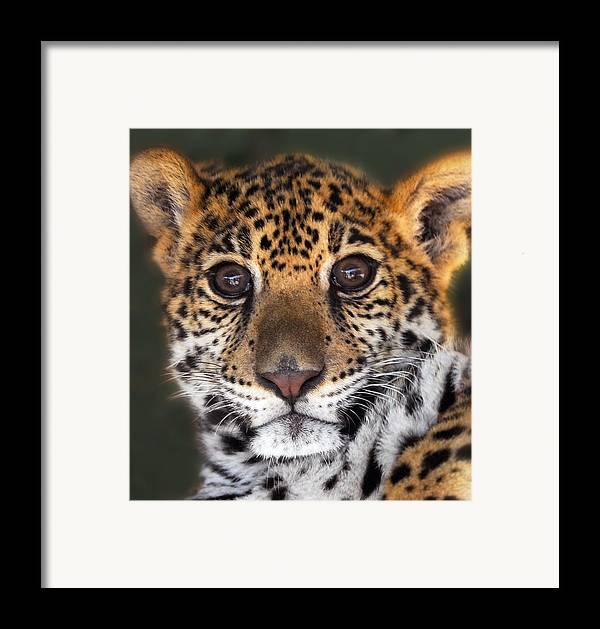 Cheetah Framed Print featuring the photograph Cheetah by Craig Incardone