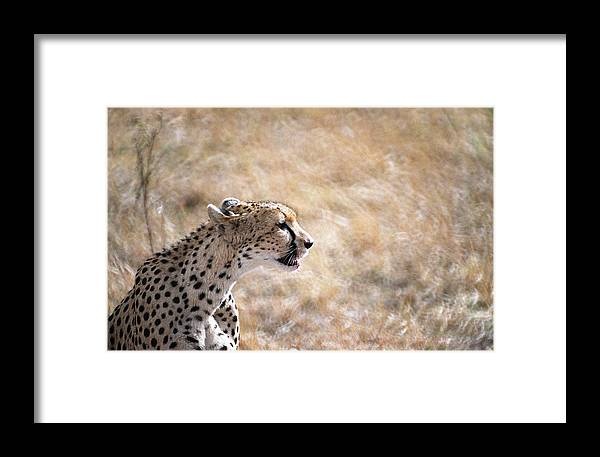 Cheetah Framed Print featuring the photograph Cheetah by Marcus Best