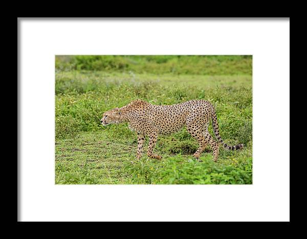 Cheetah On The Prowl Framed Print featuring the photograph Cheetah On The Prowl by Morris Finkelstein