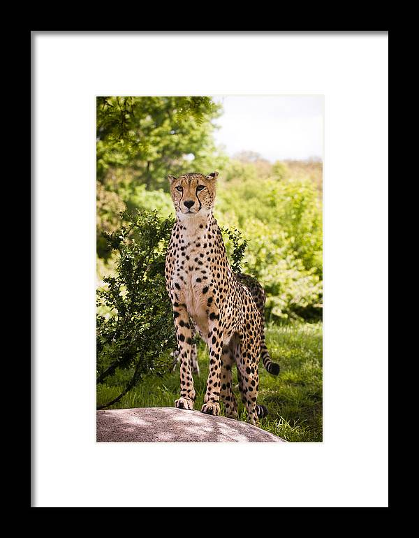 Cheetah Framed Print featuring the photograph Cheetah Overlook by Chad Davis