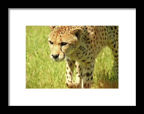 Cheetah Framed Print featuring the photograph Cheetah The Fastest Land Animal by Debbie Oppermann