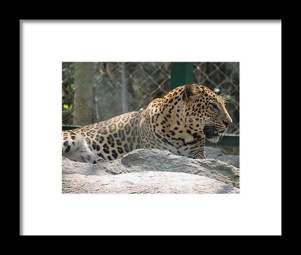 Leopard Framed Print featuring the photograph Cheetah by Utpal Datta