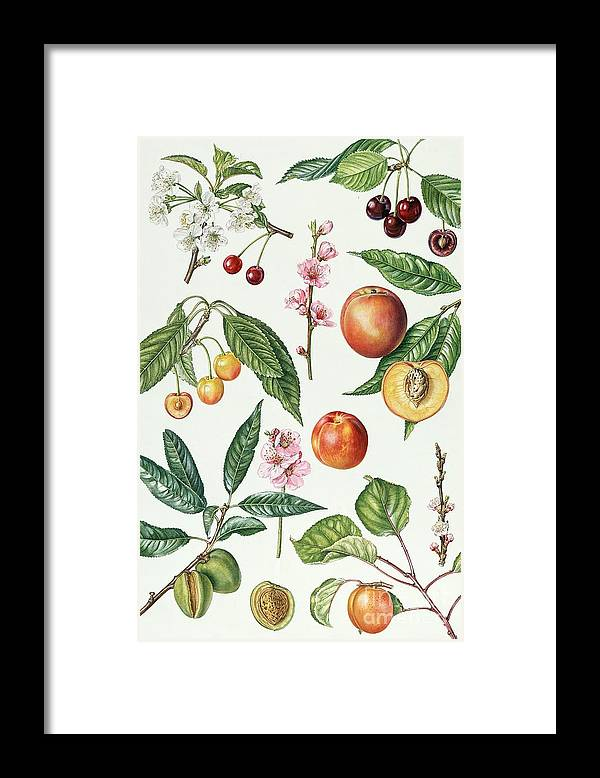Morello Cherry; Sweet; Napoleon Bigarreau; Peach; Blossom; Nectarine; Almond; Apricot; Stone; Fruit; Botanical; Blossoms; Cherries; Nectarines; Almonds; Apricots; Peaches Framed Print featuring the painting Cherries And Other Fruit-bearing Trees by Elizabeth Rice