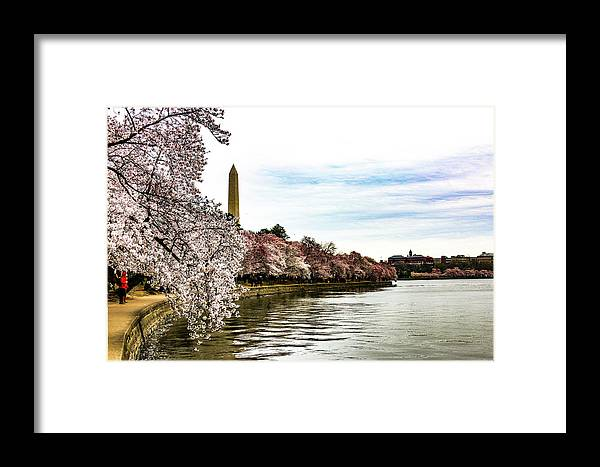 This Is A Photo Of The Cherry Blossom Festival Along The Tidal Basin In Washington D.c. Framed Print featuring the photograph Cherry Blossoms In Bloom by William Rogers