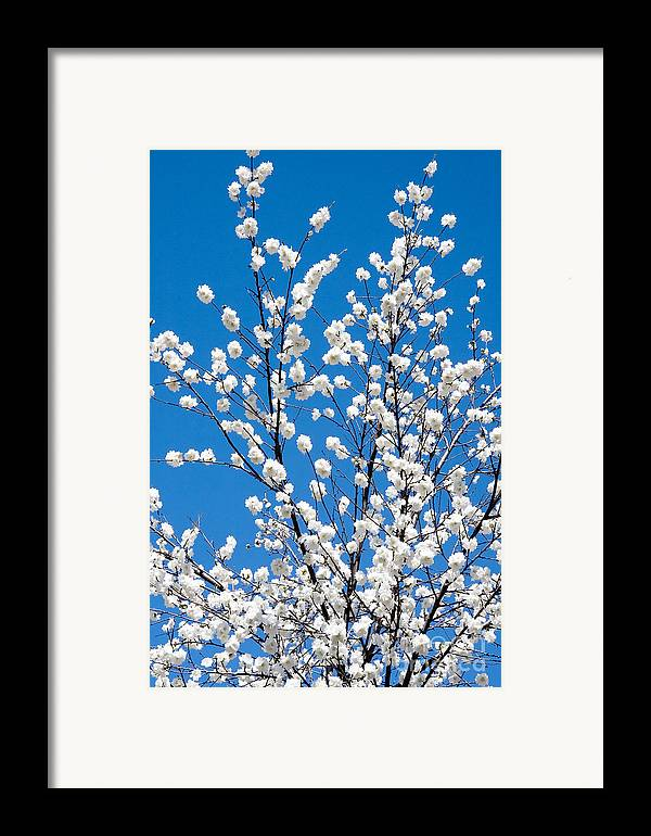 Nature Framed Print featuring the photograph Cherry Blossoms In Julian California by Julia Hiebaum