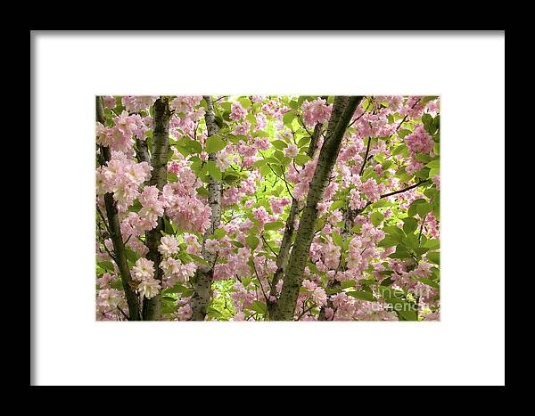 Branches Framed Print featuring the photograph Cherry Blossoms In Spring, Milan, Italy by Julia Hiebaum