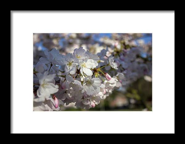 Cherry Tree Framed Print featuring the photograph Cherry Blossoms by Jason Clarke