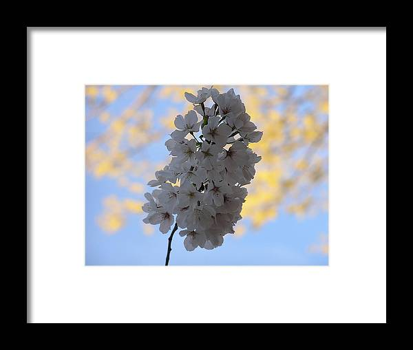 Cherry Framed Print featuring the photograph Cherry Blossums by Pamela Smith