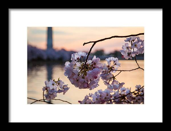 Framed Print featuring the photograph Cherry Pedals by Joshua Lebenson
