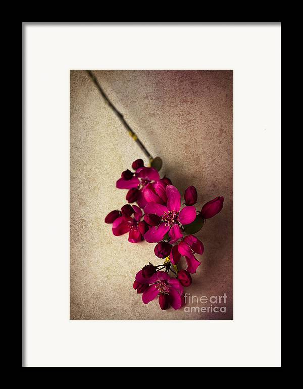 Cherry Blossom Framed Print featuring the photograph Cherry Pie by Jan Bickerton