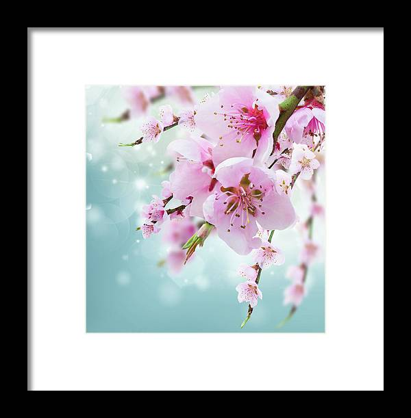Flower Framed Print featuring the photograph Cherry Tree Twig On Blue by Anastasy Yarmolovich