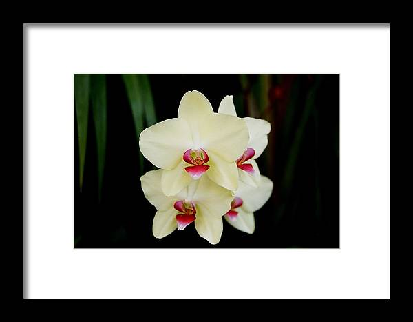 Ivory Framed Print featuring the photograph Cherry Vanilla by Betnoy Smith