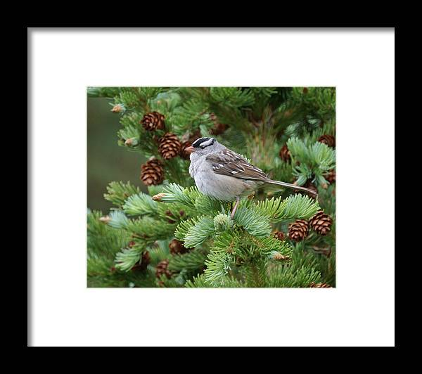 Chickadee Framed Print featuring the photograph Chickadee by Heather Coen