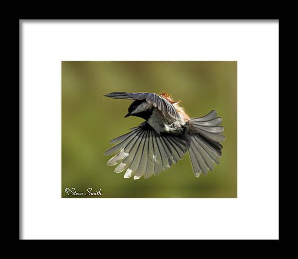 Bird Framed Print featuring the photograph Chickadee In Flight by Steve Smith