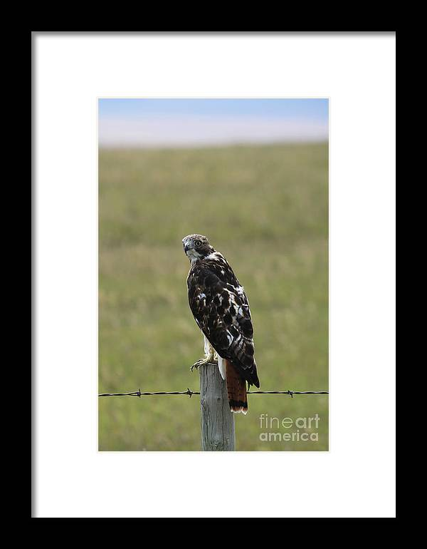 Chickenhawk Framed Print featuring the photograph Chickenhawk by Alyce Taylor