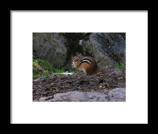 Chimpmunk Framed Print featuring the photograph Chimpmunk by Melissa Parks