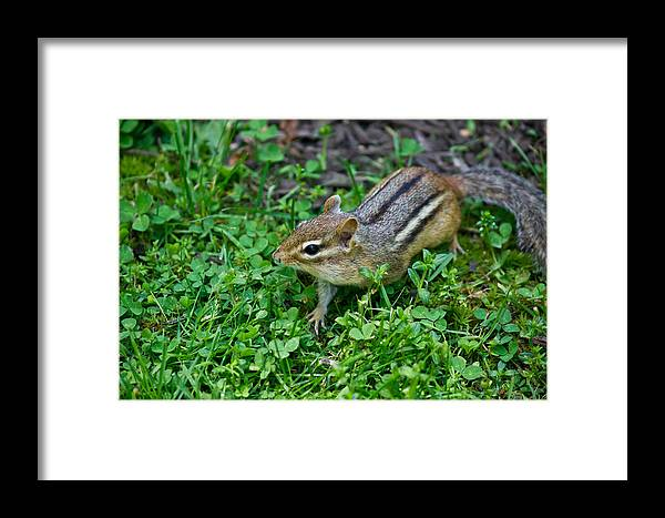 Chipmunk Framed Print featuring the photograph Chipmunk by Edward Myers