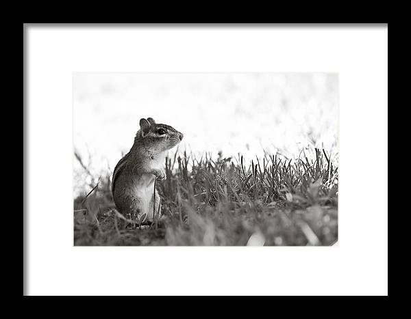 Chipmunk Framed Print featuring the photograph Chipmunk In Black And White by Edward Myers
